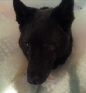 Another shot, post surgery. Maggie 20120920 2