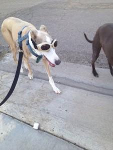 Sydney - blind dog