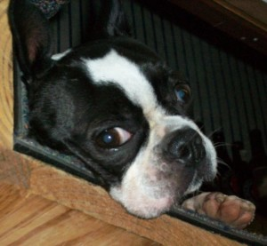 One Sad Boston Terrier Blind Dog Support For Owners Of