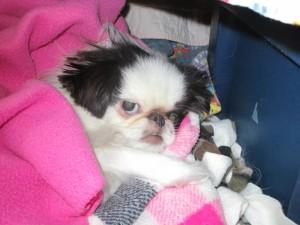 Yoshi - blind dog