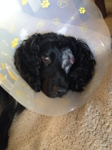 Milo after the operation