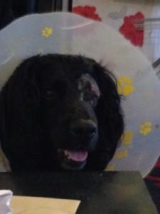Milo - blind dog