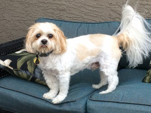 Chase Alan Shih Tzu Blind Dog Support For Owners Of Blind Dogs