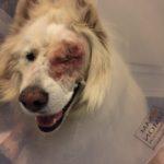 blind dog, glaucoma